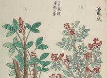 《中国的有毒植物图谱——耶稣会传教士制作的彩色刻版印刷本》